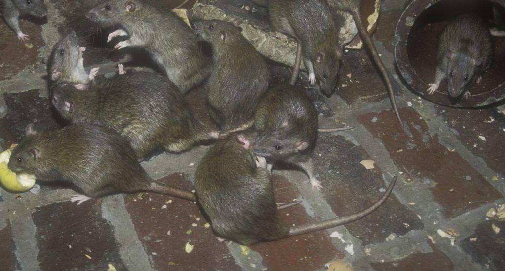 уничтожение крыс в Иркутске
